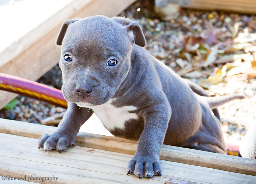 Photos of Blue Pitbull Puppies for sale in Northern Indiana